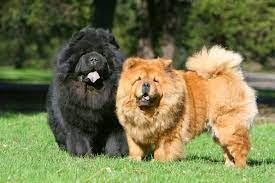 Aggressive Chow Chow Dog Breed