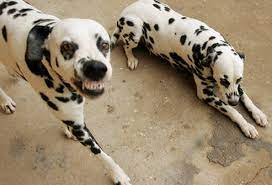 Aggressive Dalmatian Dog Breeds