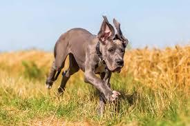 Aggressive Great Dane Dog Breeds