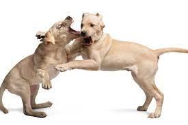 Aggressive Labrador Retriever Dog