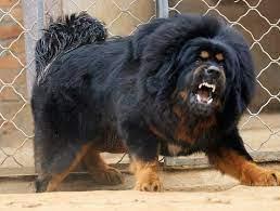 Aggressive Mastiff dog
