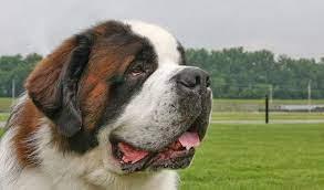 Aggressive Saint Bernard Dog Breeds