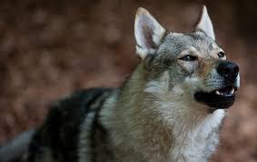 Aggressive Wolf-dog Hybrid