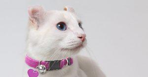 American Curl White Cat Breeds