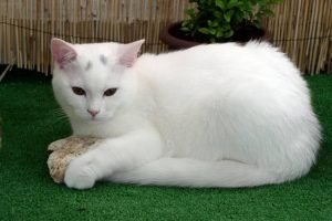American Shorthair White Cat Breeds
