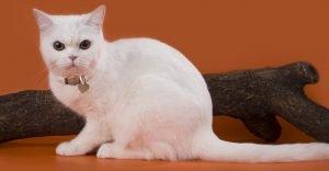 White Cat Breeds American Shorthair