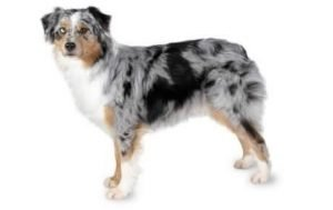 Quite Dog Breeds Australian Shepherd
