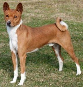 Quite Dog Breeds Basenji