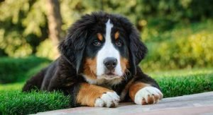quiet dog breeds Bernese Mountain Dog