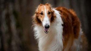 quite dog breeds borzoi