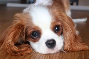 quiet dog breeds Cavalier King Charles Spaniel