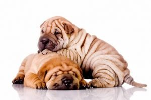 Quite Dog Breeds Chinese Shar Pei