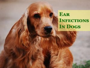 Ear Infections in Dogs 1