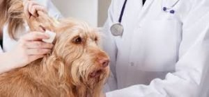 Ear Infections in Dogs 2