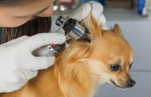 Ear Infections in Dogs3