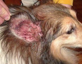 Ear Infections in Dogs 5