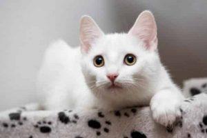 European Shorthair White Kitten