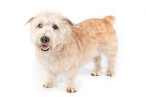 Quite Dog Breeds Glen of Imaal Terrier