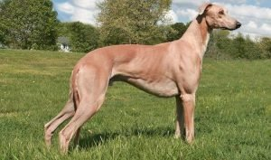 Quite Dog Breeds Greyhound Dog