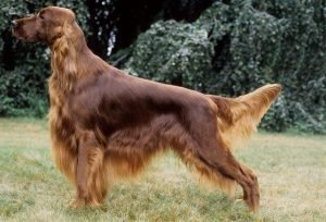 quite dog breeds Irish Setter