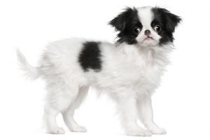 Quite Dog Breeds JAPANESE CHIN