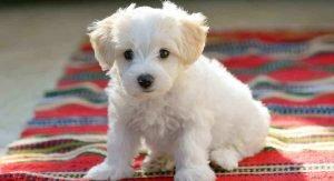 Maltese Dog History