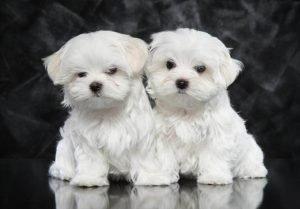 Maltese Dog Personality