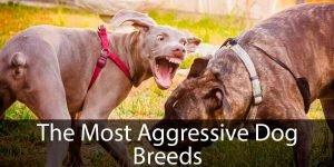 Most Aggressive Dogs