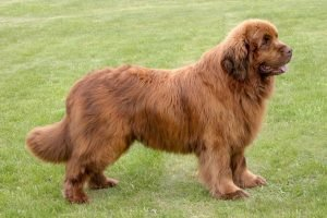 Quite Dog Breeds New Foundland Dogs