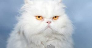 Persian White Cat Breeds