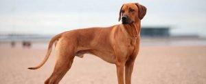 Quite Dog Breeds Rhodesian Ridgeback