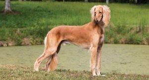 Quite dog Breeds Saluki