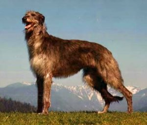 Quite Dog Breeds Scottish Deerhound