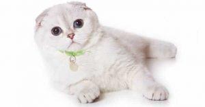 Scottish Fold White Cat Breeds
