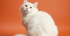 Siberian White Cat Breeds