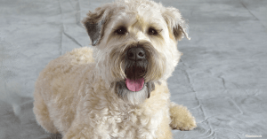 Quite Dog Breeds Soft-Coated Wheaten Terrier