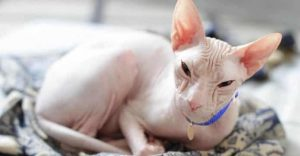 Sphynx White Cat Breeds