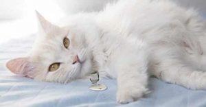 Turkish Angora White Cat Breeds