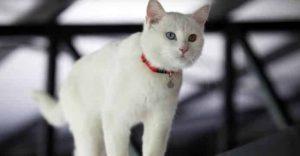 Turkish Van White Cat Breeds
