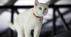 Turkish Van White Cat Breeds