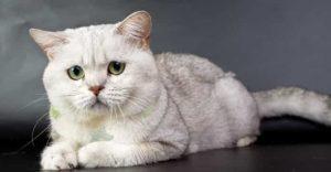 White Cat Breeds British Shorthair