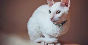 White Cat Breeds Cornish Rex