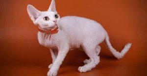 White Cat Breeds Devon Rex