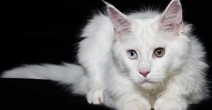 White Cat Breeds Main Coon