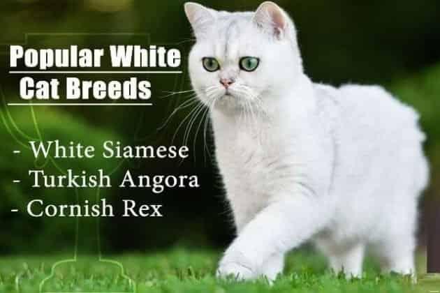 White Cat Breeds 1