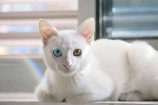 White Cat Breeds 2