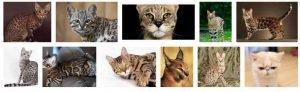 exotic cat breeds 1