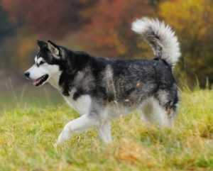 Alaskan Malamute Muscled Dog