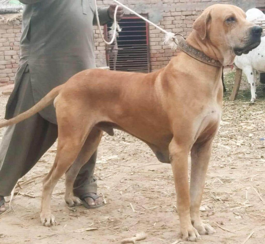 Bully Kutta Breed