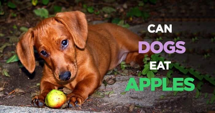 Can Dogs Eat Applesauce 4